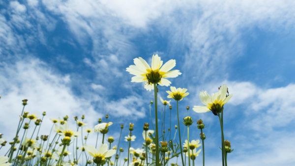 空に向かって咲くコスモス