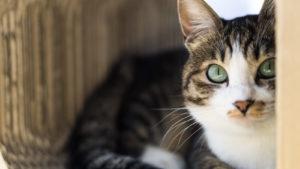 じっと人を見つめる猫の画像