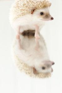 鏡に映るハリネズミ