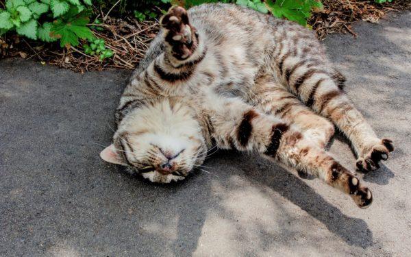 道に寝転ぶ自由な猫